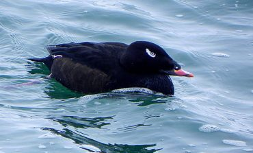 "Try ""Diving into Ducks"" at Audubon Workshop in Dunkirk October 18"