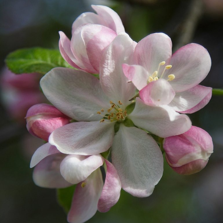 Learn About the Pollination Needs of Apple Trees, Friday, May 4, at Audubon